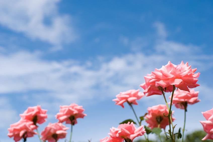 ピンクのバラの花と青空